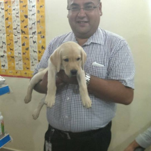 cute lab puppies for sale in delhi ncr