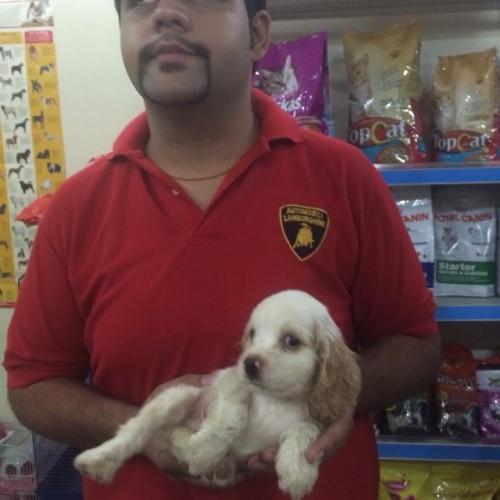 english cocker spaniel for sale in delhi