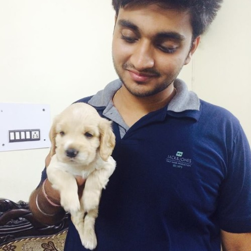 Cavapoo for sale in Pune
