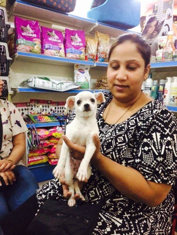 pure white chihuahua puppies for sale