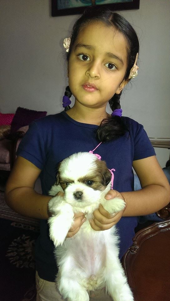 Cavachon dogs puppies for sale india