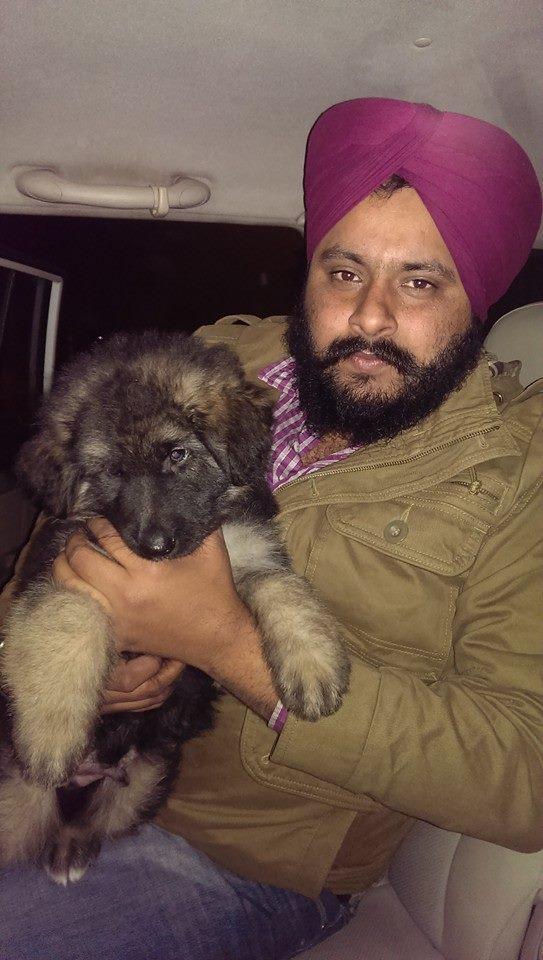 triple coat german shepherd dogs puppies for sale india