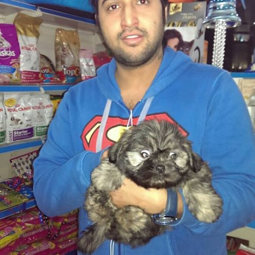 lhasa apso dogs puppies for sale delhi