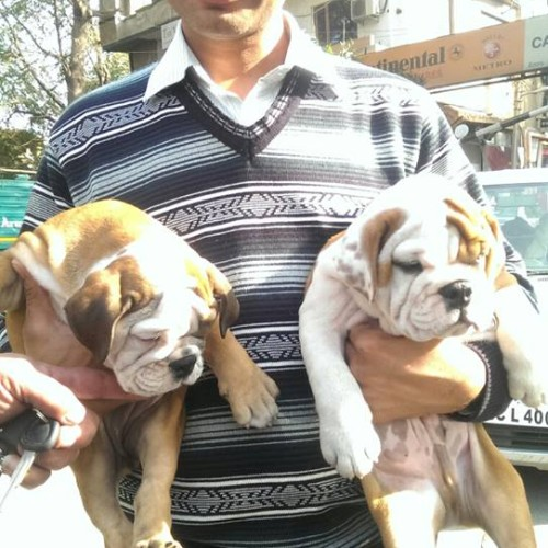British Bulldog for sale in faridabad
