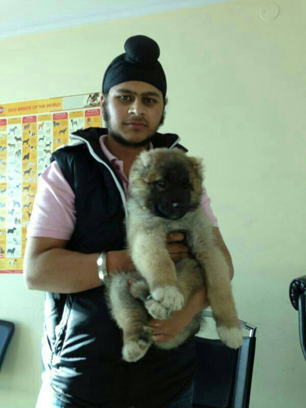 caucasian shepherd puppies for sale in gurgaon