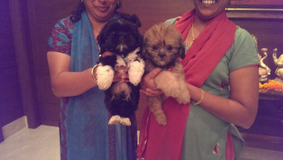 tri color coton de tulear puppies for sale in delhi ncr