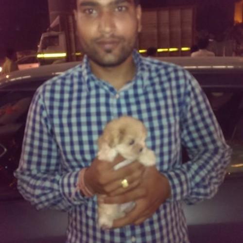 Golden Havanese puppies for sale in delhi ncr
