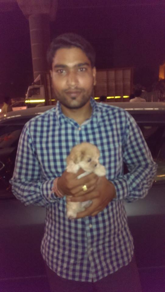 Golden Havanese puppies for sale in delhi ncr