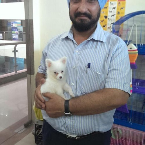 pom puppies for sale in delhi ncr