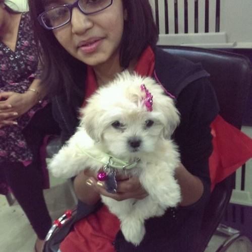 Maltipoo puppies for sale in delhi ncr