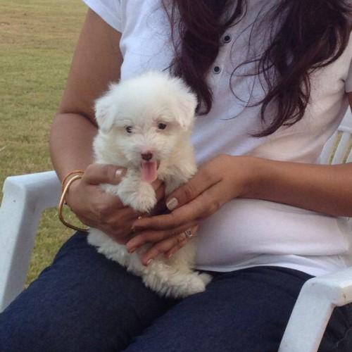 havanese puppies for sale in calcutta