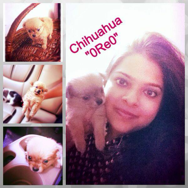 hairy chihuahua puppies for sale in delhi ncr