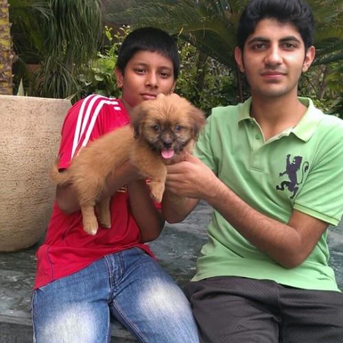 golden coton de tulear puppies for sale in delhi ncr