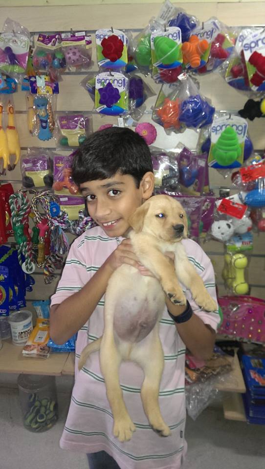 golden lab puppies for sale in delhi ncr