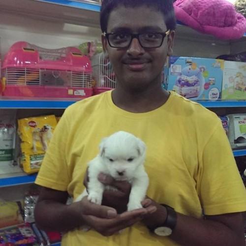 white coton de tulear puppies for sale in delhi ncr